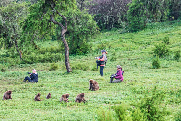 Tourists photographing a troop of Gelada baboons stock photo