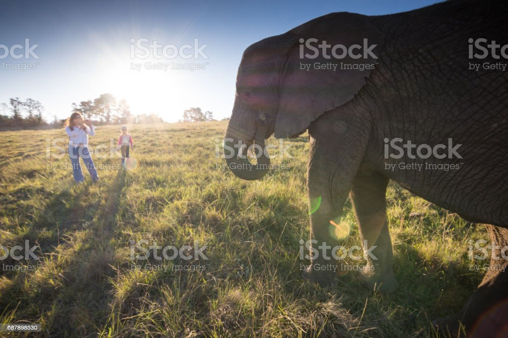 Tourists standing in front of large African Elephant stock photo