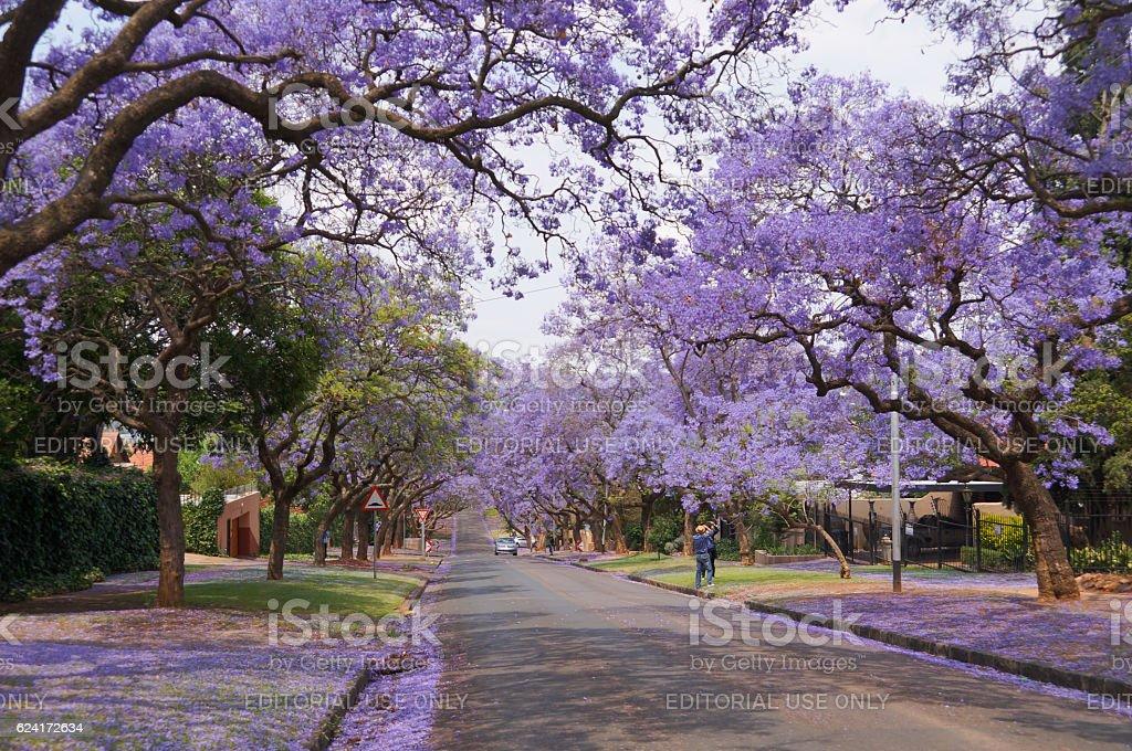 Tourists taking photograph of beautiful Jacaranda flowers in Pretoria. stock photo