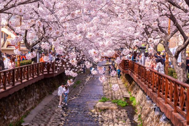 Turistas toman fotos de flor de cerezo de primavera en Yeojwacheon corriente, Jinhae, Corea del sur. - foto de stock