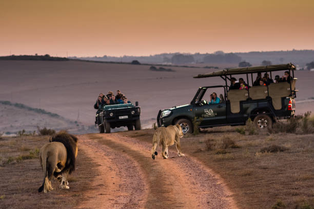 tourists viewing lions on morning safari in south africa - safari stock photos and pictures
