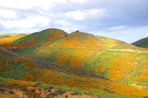 Tourists Walking through colorful orange hills of poppies in California during Super bloom