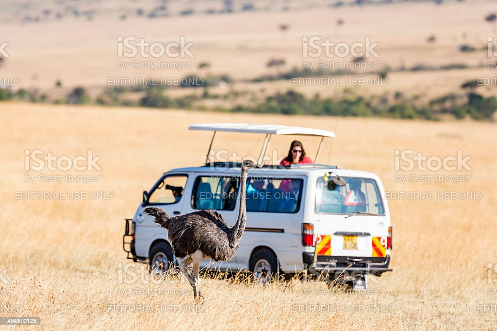 Female Ostrich is very close the Safari Vehicle. Tourists in off-road...