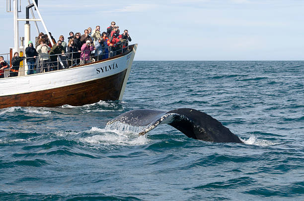 Tourists whale watching in Iceland stock photo