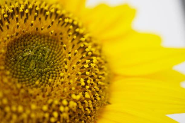 向日葵 - 黃金比例 個照片及圖片檔