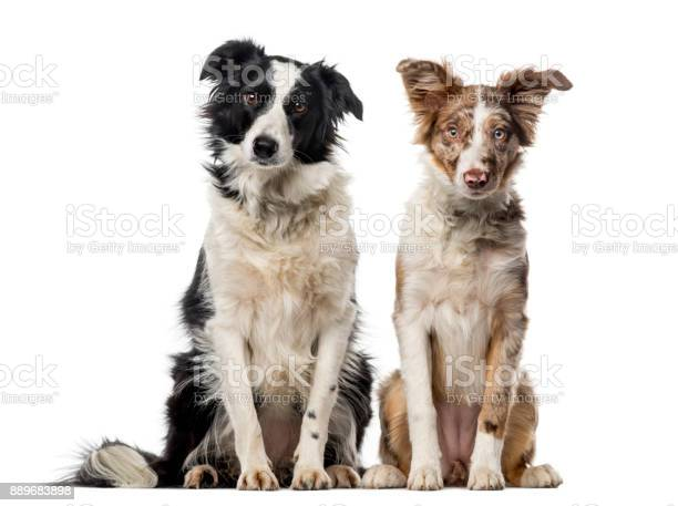 Tow border collies in front of a white background picture id889683898?b=1&k=6&m=889683898&s=612x612&h=jabnbmxrwusaube07ckc 90vulrvugg4zb4xh4g2aiw=