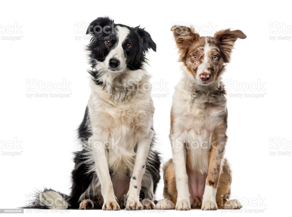 Tow Border collies in front of a white background stock photo