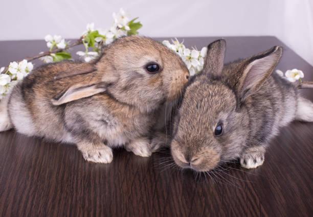 schlepptau niedlichen goldenen kaninchen sitzen - plüschhase stock-fotos und bilder