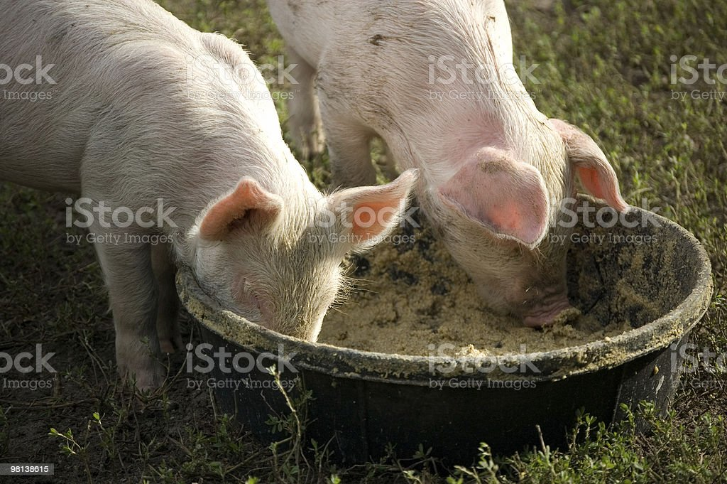 Tow piglets eating from one bowl royalty-free stock photo
