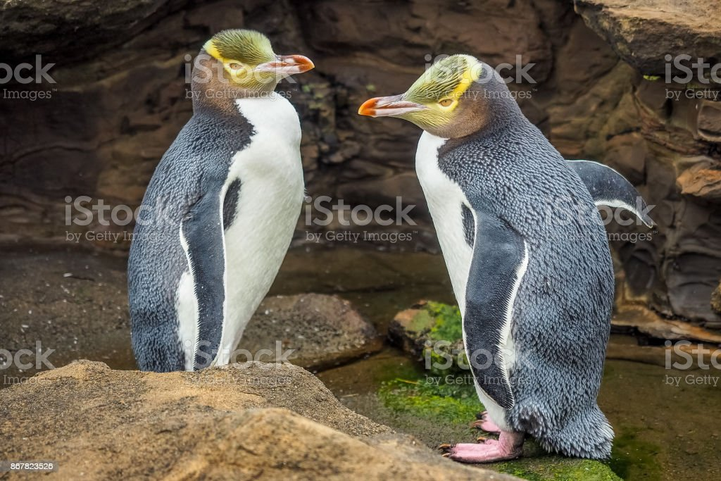 Tow Yellow Eyed Penguins are in the wild. New Zealand native penguin. stock photo