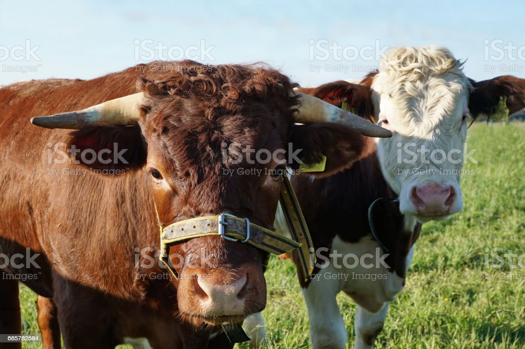 Tow young Cattle looking courios, Bavaria Germany. royalty-free stock photo