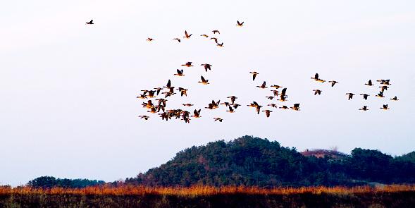 우포의 철새들이 해질녁이 되자 무리를지어 둥지로 항하고 있다.    VH533