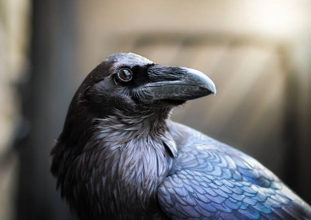 Image result for raven photo