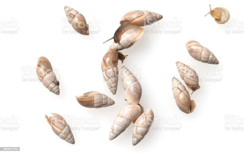 Tower snail, Zebrina detrita royalty-free stock photo