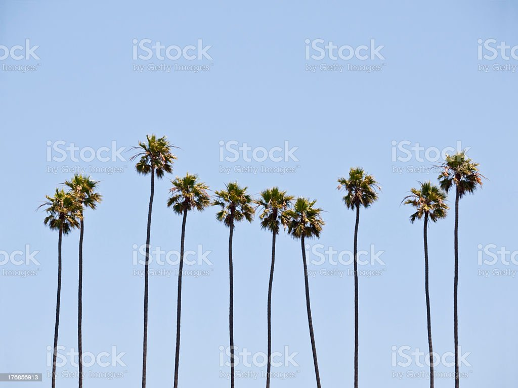 Towering palm trees in front of a clear blue sky stock photo