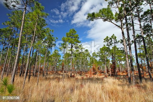 Longleaf pines in the Croatan National Forest, North Carolina