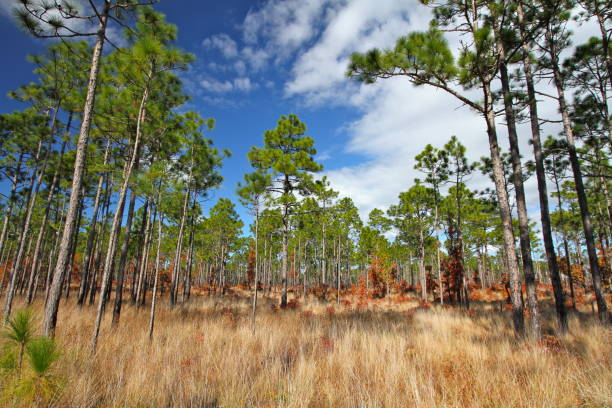 Towering pines and golden grasses under clouds and blue sky Longleaf pines in the Croatan National Forest, North Carolina national forest stock pictures, royalty-free photos & images