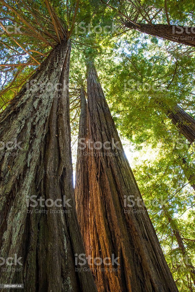 Towering redwoods stock photo