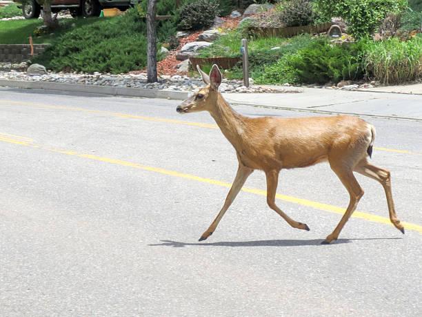 """""""Townie"""" deer crossing a road in a Durango, Colorado neighborhood"""