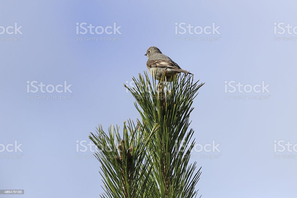 Townsend's Solitaire Bird stock photo