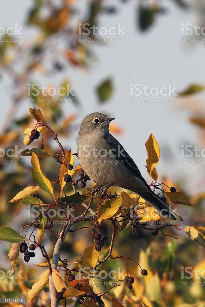 Townsend's Solitaire looking over left shoulder stock photo