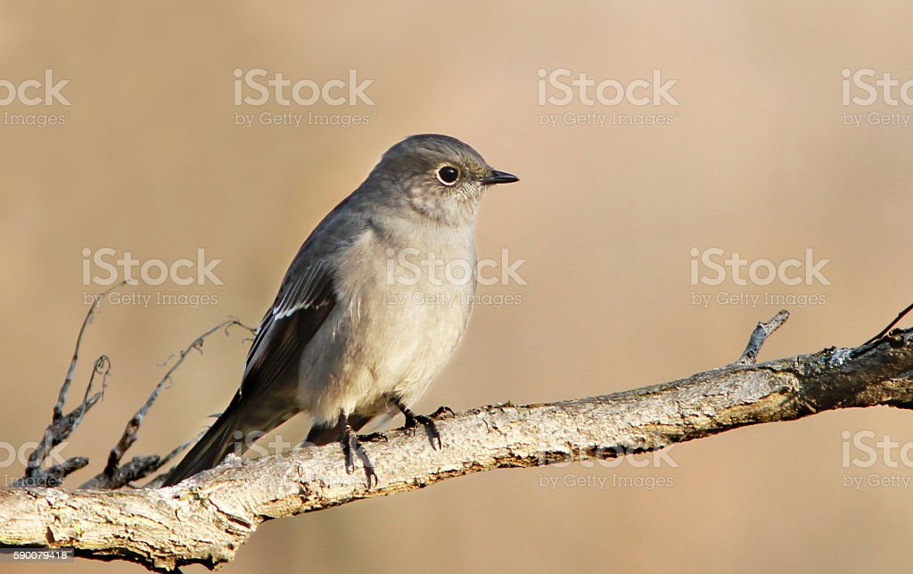 Townsend's solitaire stock photo