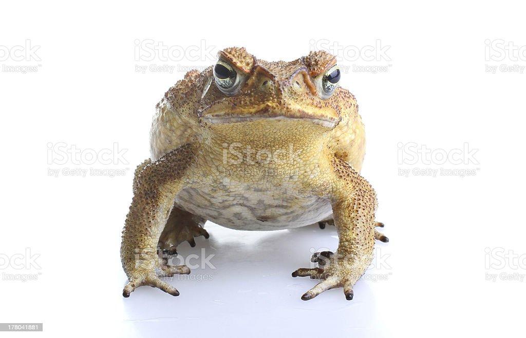 Toxic cane toad stock photo