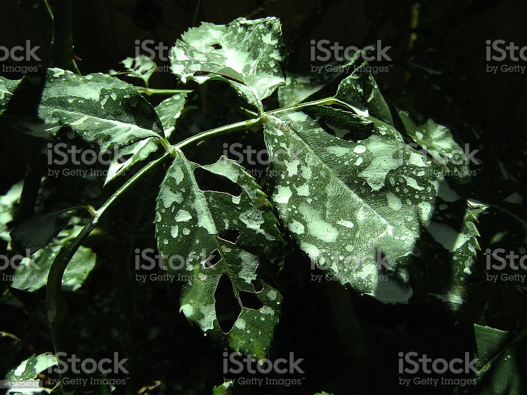 Toxic Leaves royalty-free stock photo
