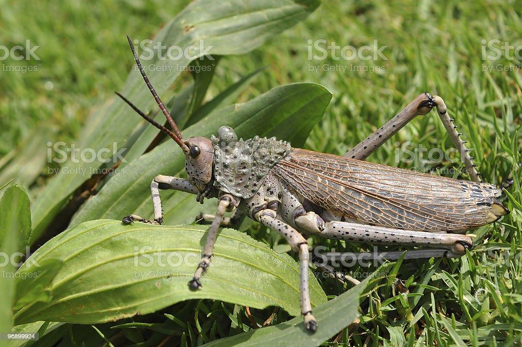 toxic milkweed grasshoppers royalty-free stock photo