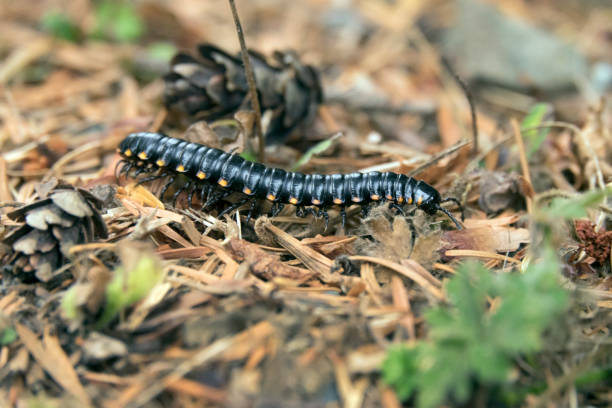 Toxic millepede walks forest floor French Beach Provincial Park Vancouver Island British Columbia stock photo