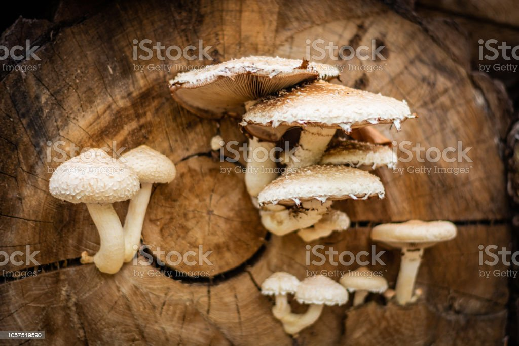 Toxic white and brown mushrooms growing on the faded tree – zdjęcie