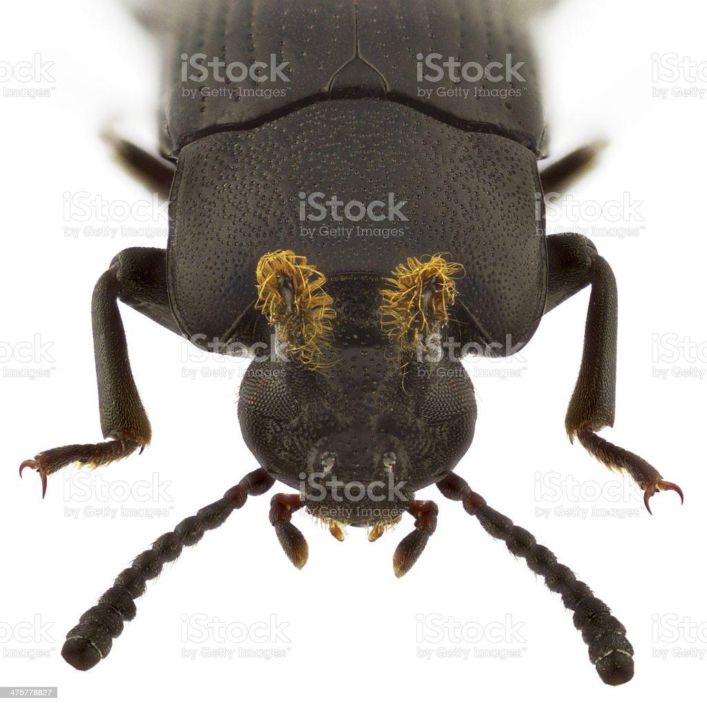 Toxicum quadricornis stock photo