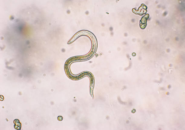 Toxocara canis second stage larvae hatch from eggs Toxocara canis second stage larvae hatch from eggs in microscope. Toxocariasis, also known as Roundworm Infection, causes disease in humans nematode worm stock pictures, royalty-free photos & images