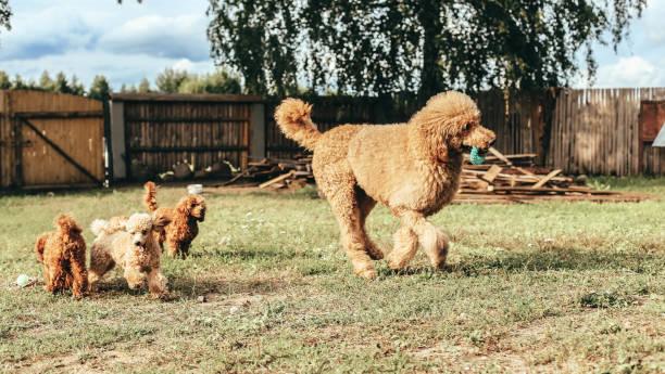 グッズと標準プードルは、芝生の上に再生されます。アプリコット色の血統の犬。 - poodle ストックフォトと画像