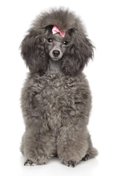 Toy Poodle in front of white background Cute young Toy Poodle sits in front of white background, front view poodle stock pictures, royalty-free photos & images