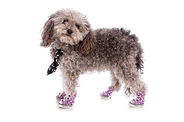 toy poodle in sneakers - lange zottige frisuren stock-fotos und bilder