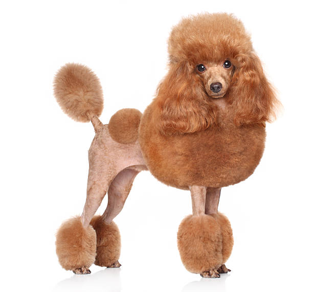 Toy Poodle on a white background Red Toy Poodle standing in front of white background poodle stock pictures, royalty-free photos & images