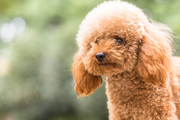 Toy Poodle On Grassy Field Toy Poodle On Grassy Field. poodle stock pictures, royalty-free photos & images