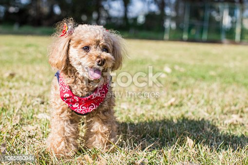 Toy poodle on the lawn