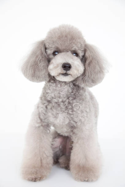 Toy poodle Toy poodle poodle stock pictures, royalty-free photos & images