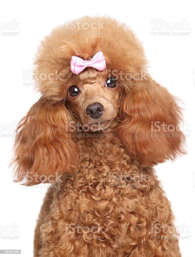 Toy poodle puppy close-up portrait royalty-free stock photo