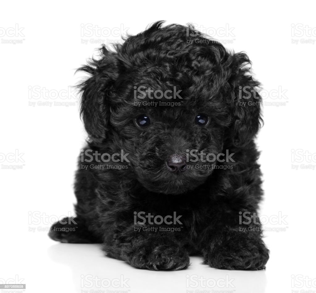 Toy Poodle Puppy On White Stock Photo Download Image Now Istock