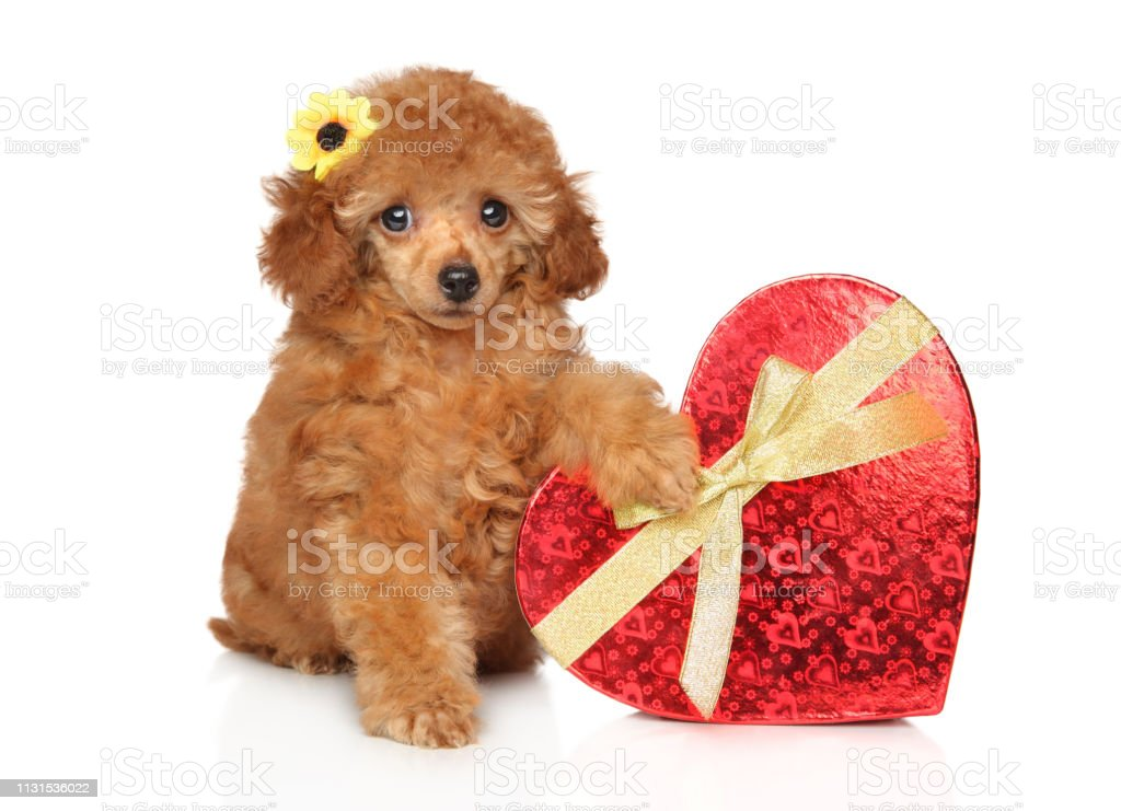 Toy Poodle Puppy With Red Heart Stock Photo Download Image Now Istock