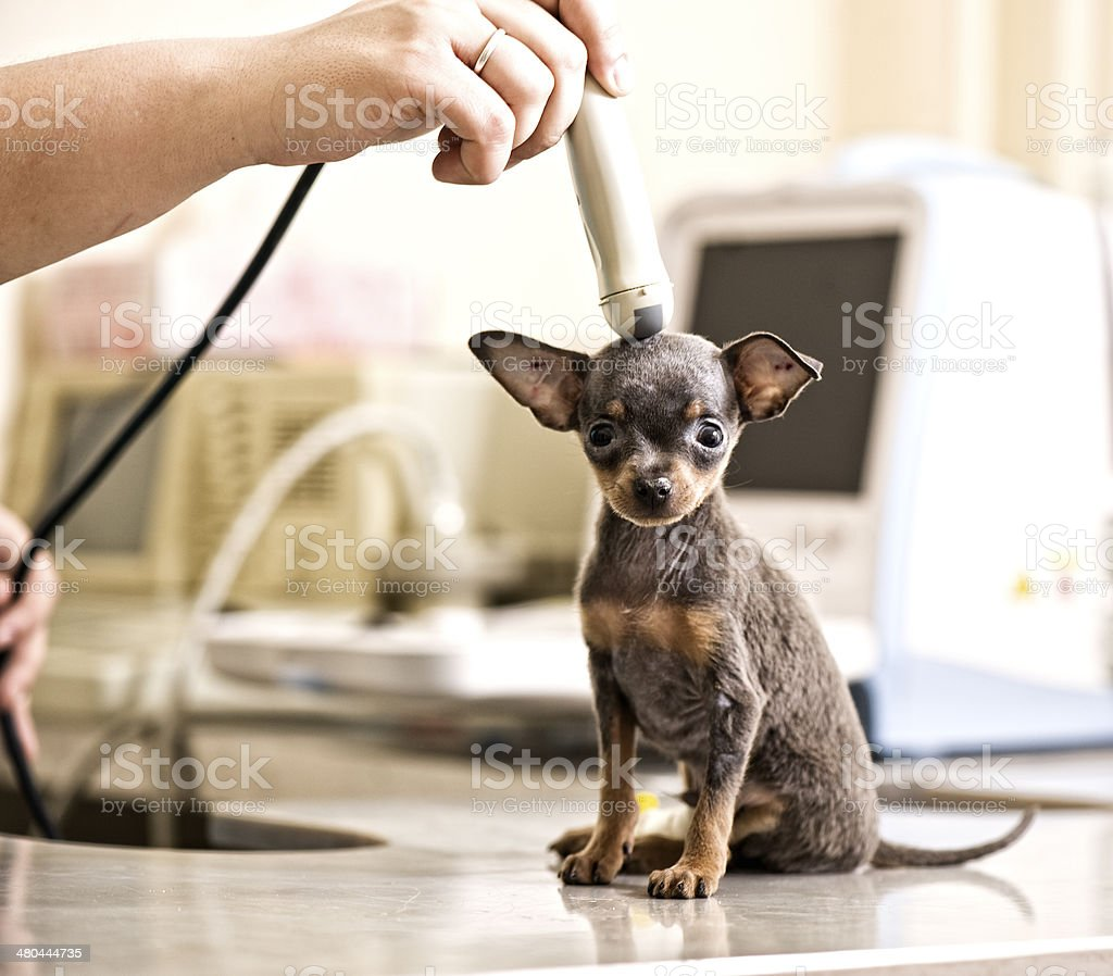 Toy terrier  Examined in Animal Hospital stock photo