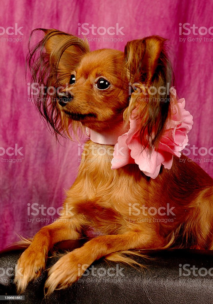 toy terrier on sofa royalty-free stock photo