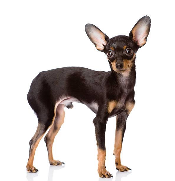 toy-terrier chiot de profil - chihuahua chien de race photos et images de collection