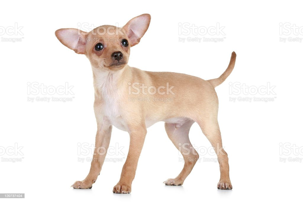 Toy Terrier puppy royalty-free stock photo