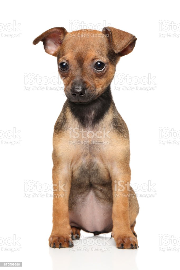 Toy Terrier puppy sits stock photo