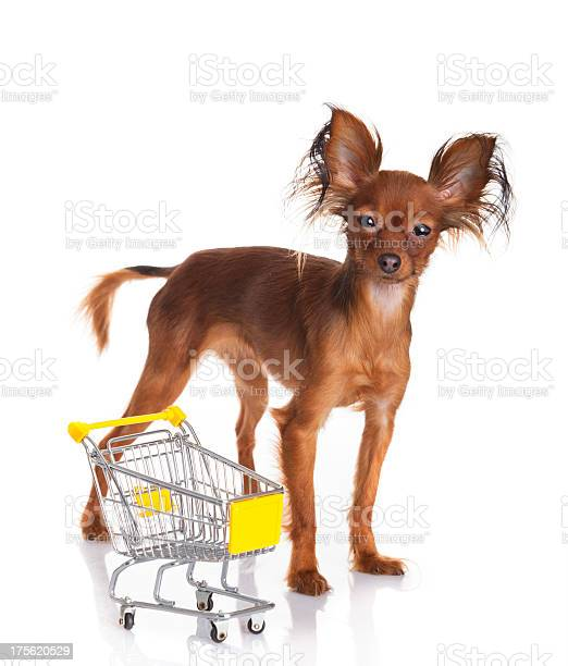 Toy terrier with shopping cart isolated on white picture id175620529?b=1&k=6&m=175620529&s=612x612&h= wufqzkxyvtyz4pgxm7bisop9ibpxk3rif1joapoqv0=