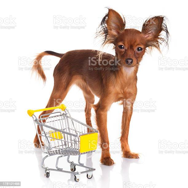 Toy terrier with shopping cart isolated on white picture id178101466?b=1&k=6&m=178101466&s=612x612&h=8ktv rn5yobvvxbcx1mz0ggzbcvnnic9ueeadtaga88=